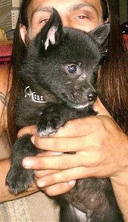 A person is holding a small black with white Schip-A-Pom puppy in their hands on a couch. The puppy is looking to the right.
