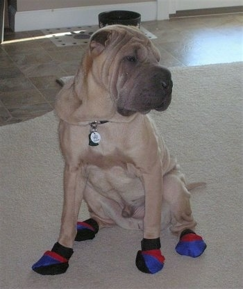 Side view - A tan Shar-Pei is wearing blue, red and black socks sitting on a tan rug looking to the right. The dog has a lot of extra skin that is covering up its collar and a wrinkly block head.