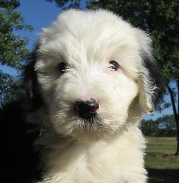 Close up - A thick coated, white with black Sheepadoodle puppy is sitting outside looking down and forward. Its mostly white with black ears and a black nose. It has pink around its eyes.