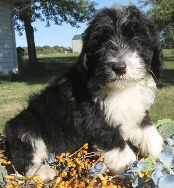 Sheepadoodle Puppy (Old English Sheepdog / Standard Poodle Hybrid)
