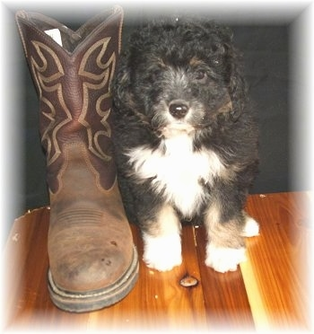 Front view - A boot is standing up next to a black with white and tan Sheltidoodle puppy that is sitting on a hardwood floor.