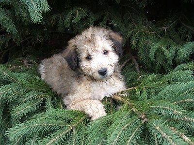 Front view - A fluffy, tan with black Sheltidoodle puppy is laying across a pine tree looking forward and its head is slightly tilted to the left.