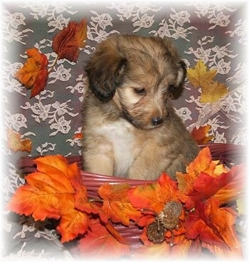 Front view - A litte, tan with black and white Sheltidoodle puppy is sitting in a wicker basket that has bright orange leaves on it on a gray print couch and it is looking down.