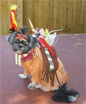 The left side of a black with white Shih-Tzu is sitting across a red surface, it is dressed as a Native American indian, it is looking forward and its head is tilted to the right.
