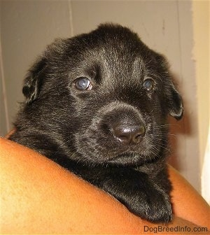 Close up front view - A shiny coated, small, young black Shiloh Shepherd puppy is laying over the arm of a person.