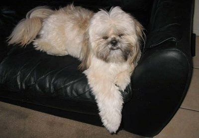 A thick coated tan with black and white Shinese is laying on a black couch, it is looking forward and its front paws are hanging over the edge. It has longer hair on its ears and tail.