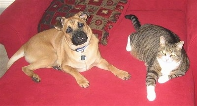 Finnian, the German Shepherd / Pug hybrid (Shug) at 7 months old, with his cat friend