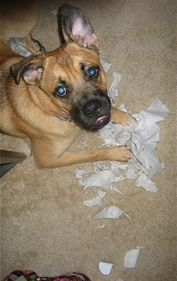 Finnian, the German Shepherd / Pug hybrid (Shug) at 7 months old, gets into a bit of mischief
