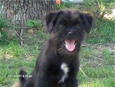 Close up front view - A fuzzy black with white Skip-Shzu dog is sitting in grass looking forward panting with its pink tongue showing. Its ears hang down to the sides.