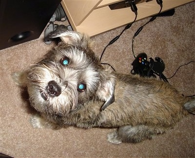Top down view of a tan with black and white Sniffon dog that is standing on a carpet, it is looking up and there is a Xbox controller behind it.