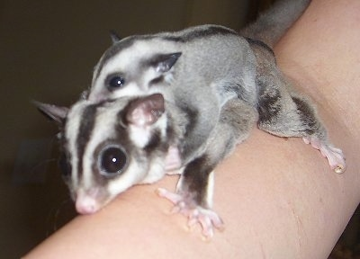 Close up - A baby sugar glider is laying on the back of a second sugar glider on a persons arm.