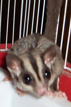 Close up - A sugar glider is standing on the side of a cage.