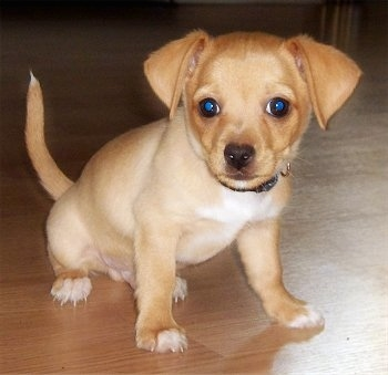 50 % chihuahua 50 % toy fox terrier taco terrier hybrid at 12