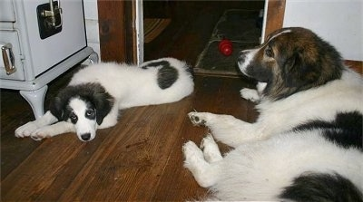 A white with gray Tornjak puppy is laying down across a hardwood floor and across from it is an adult white with black and brown Tornjak dog that is looking to the left.