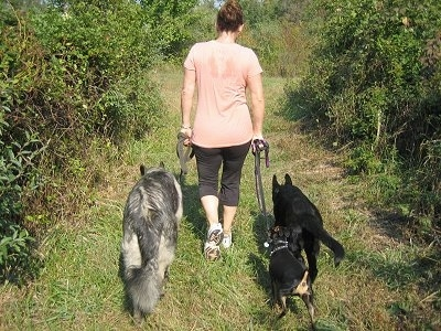 The back of a lady, wearing a pink shirt, is leading three dogs on a walk through the woods