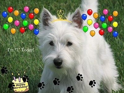 The front left side of a soft looking, long coated, West Highland White Terrier dog standing on grass. It has a crown, balloons, paws and a birthday cat clipart overlayed on the image. The words - I'm '1' Today! - is overlayed.