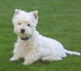 The front left side of a sitting West Highland White Terrier that is in grass. The puppy looks very soft and pure white. It has small perk ears, a black nose and small black eyes.