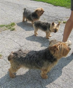 Tootsie, Doogie and Jack, three Yorkshire Terriers standing outside
