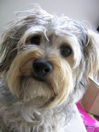 Yorkipoo Dog Breed Pictures, 2