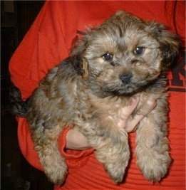 A brown with black Yorkipoo puppy being held in the air by the arm of a person in an orange shirt. It has a thick wavy coat, brown eyes and a black nose. Its ears are set wide apart on the sides of its head and hang down to the sides. It has an egg shaped head.