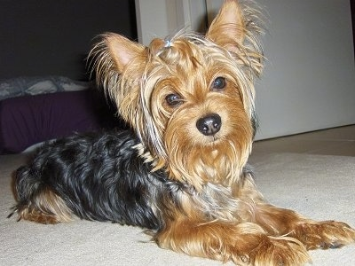 The front right side of a black with tan Yorkshire Terrier dog laying across a tan carpet looking forward. It has pointy perk ears with long fringe hair hanging from them. Wide round dark eyes and a big black nose.