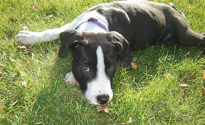 A black and white Pit Bull Puppy laying down on grass and it is looking forward.