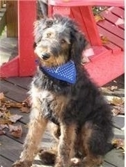 Front side view - An Airedoodle puppy with a blue bandana sitting on a wood porch deck with a red plastic chair behind it.