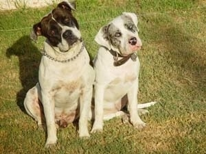 Two Alapaha Blue Blood Bulldogs are sitting on the grass and there head is tilted to the right