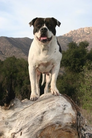 A white with black Alapaha Blue Blood Bulldog is standing on a tree stump on a cliff.