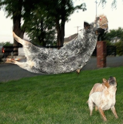 Spike the Australian Cattle Dog is in mid-air sideways jumping up and catching an item as two other dogs watch from the ground.