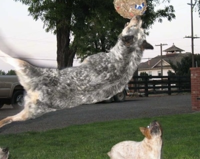 Spike the Australian Cattle Dog is sideways high in the air catching a ball with a second dog watching from the ground.