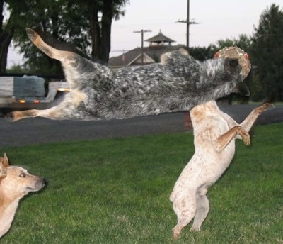 Spike the Australian Cattle Dog is sideways high up in the air catching a ball as another dog is on its hind legs on the ground aiming at the ball and a third dog watches.