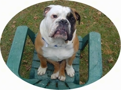 Amos Moses the black, tan and white EngAm Bulldog is sitting backwards on his bum in a plastic green lawn chair out in a yard. he is looking up at the person with the camera.