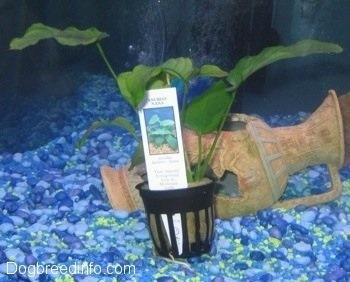An Anubis Nana plant with the tag still with the plant in front of a broken vase in a fish tank with blue, teal, light blue and yellow gravel