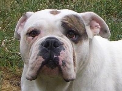 Close Up - Lexy the Australian Bulldog standing on grass