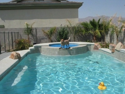 The left side of a tan Australian Cattledog that is standing on a wall between a jacuzzi and a pool