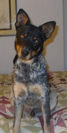 View from the front - A perk-eared, black with brown and gray ticked Australian Cattle Dog/Doberman mix sitting on a human's bed looking forward. Its head is tilted to the right.