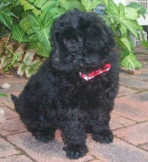 Labradoodle Puppies on This Is Jet The Australian Labradoodle Puppy At 13 Weeks Old He Was