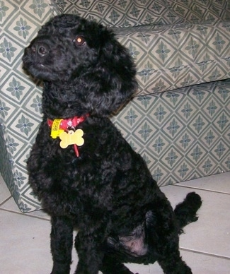 Jet the black Australian Labradoodle puppy sitting in front of a couch
