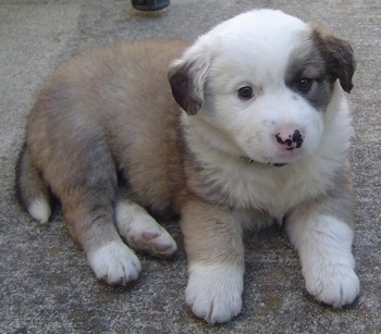Australian Shepherd Puppies on Australian Retriever  Australian Shepherd Golden Retriever Hybrid Dogs