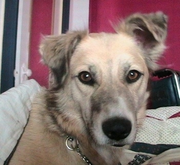Close up head shot - A tan with black Golden Retriever/Australian Shepherd mix is wearing a choke chain collar laying on a bed and looking at the camera. There is a red, white and black wall behind it.