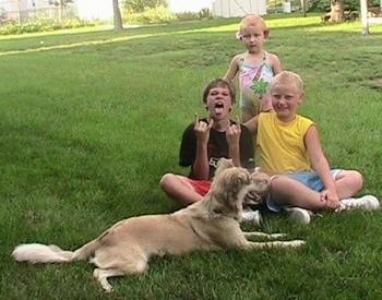 A tan with black Golden Retriever/Australian Shepherd is laying in grass with its mouth open. There are three children sitting and standing behind it. One of the boys is making a funny face with four fingers in the air.