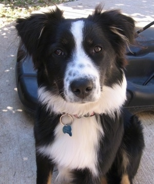 Lassie the black and white with brown Australian Shepherd sitting on a sidewalk in front of a basketball hoop