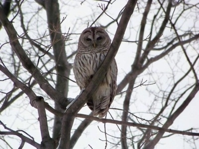 Barred Owl standing in a tree looking at the camera holder