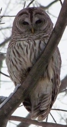 Barred Owl sitting in a tree