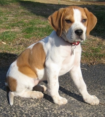A tan with white Beagle mix puppy is sitting on a black top surface and it is looking forward.