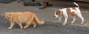 A tan with white Beagle mix puppyis walking on a black top surface behind an orange cat. The dog is the same size as the cat.