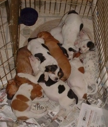 A large litter of Beagle mix puppies sleeping on newspapers inside of a medal x-pen.