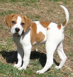 View from the side - A tan with white Beagle mix puppy is standing in grass looking towards the camera with its tail up high in the air.
