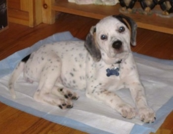 A white with black and tan Beagle mix puppy is laying on a pee pad looking up with its head tilted to the left. The dog has black spots all over its mostly white body.